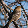 pine grosbeak: Pinicola enucleator, female, Ottawa South