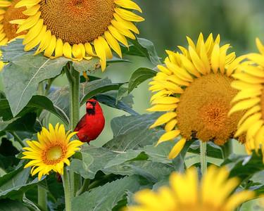 Cardinal in sunflowers