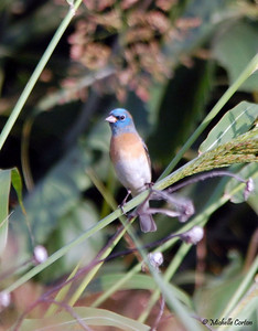 Lazuli Bunting (male)