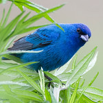 Indigo Bunting... - At Richard W. DeKorte Park