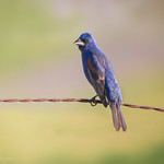 Blue Grosbeak - At Richard W. DeKorte Park, Meadowlands, NJ