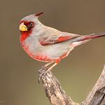 """Pyrrhuloxia """"Desert Cardinal"""""""
