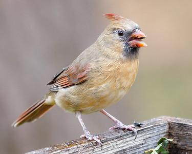 Mrs Cardinal