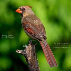 Northern Cardinal Female