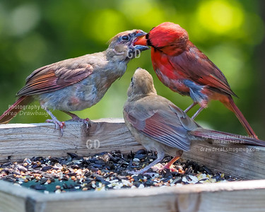 Cardinal Dad Feeding the Kids