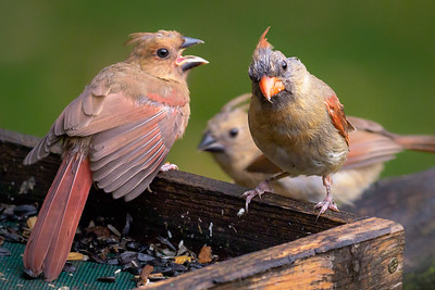 Northern Cardinal Family