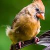 Cute Cardinal