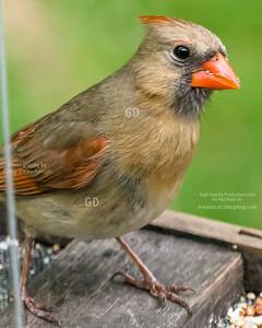 My Girlfriend is a Cardinal