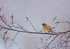 Evening Grosbeak<br /> Fabius, NY