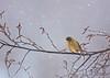Evening Grosbeak<br /> Fabius, NY