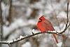 Northern Cardinal<br /> Ithaca, NY