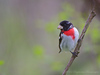 Rose-breasted Grosbeak<br /> Point Pelee National Park, ON