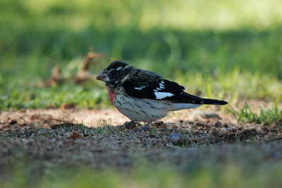 immature male Rose-breasted Grosbeak winter of 2005