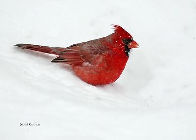 Cardinals cropped 5x7
