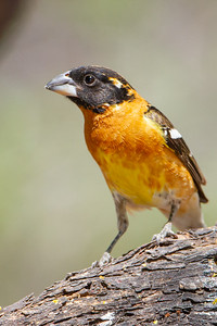 Black-headed Grosbeak - Hereford, AZ, USA