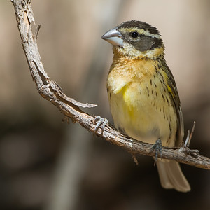 Black-headed Grosbeak - Carr Canyon, Nr. Sierra Vista, AZ, USA