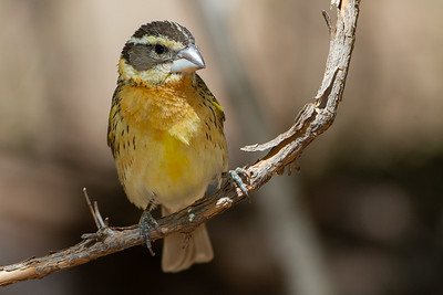 Black-headed Grosbeak - Carr Canyon, AZ, USA