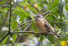 Black-headed Grosbeak - Female - Point Reyes, CA, USA