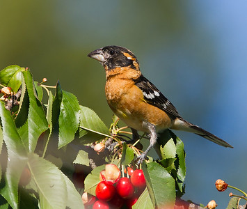 Black Headed Grosbeak - Los Altos, CA, USA