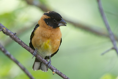 Black Headed Grosbeak - Male, Alum Rock County Park