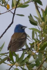 Blue Grosbeak - Record - Salinas, CA, USA