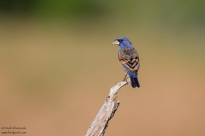 Blue Grosbeak - Edinburg, TX, USA