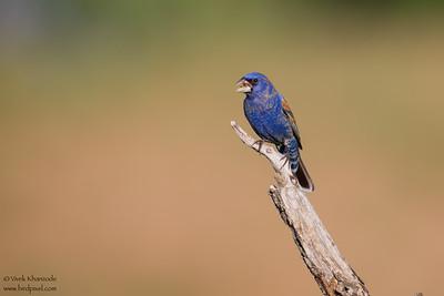 Blue Grosbeak - Edinburg, TX, USA