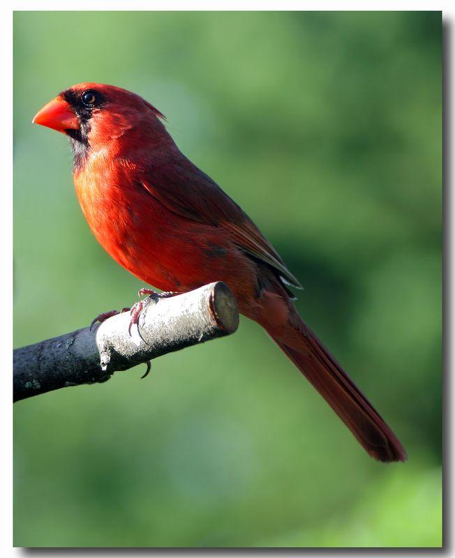 7-20-05 Male Cardinal