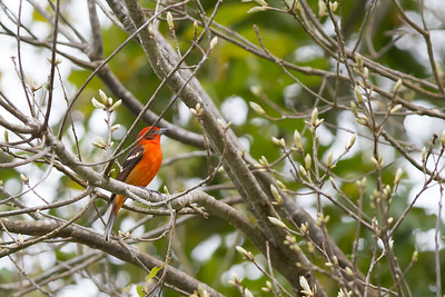 Flame-colored Tanager - Savegre, Costa Rica