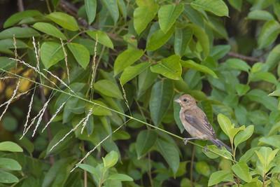 Indigo Bunting - Male - Juvenile - Record - Caye Caulker, Belize