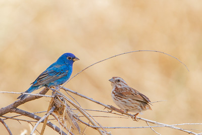 Indigo Bunting - Sierra Vista, AZ, USA