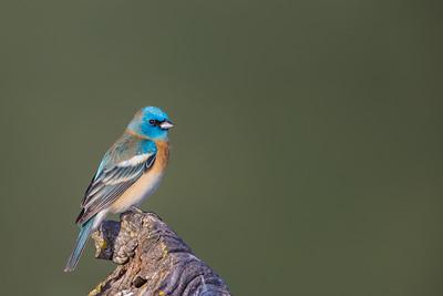 Lazuli Bunting - Los Altos, CA, USA