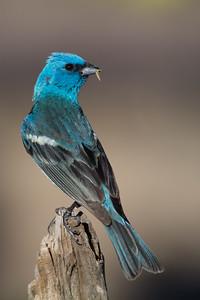 Lazuli Bunting - Male - OR, USA