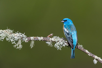 Lazuli Bunting - San Jose, CA, USA