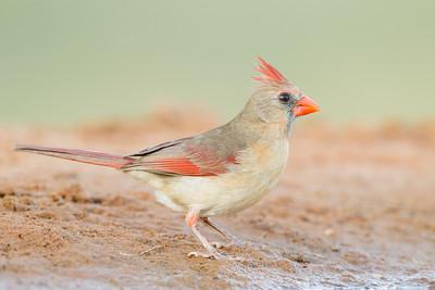 Northern Cardinal - Female - Laguna Seca Ranch, Edinburg, TX, USA