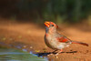Northern Cardinal - Edinburg, TX, USA
