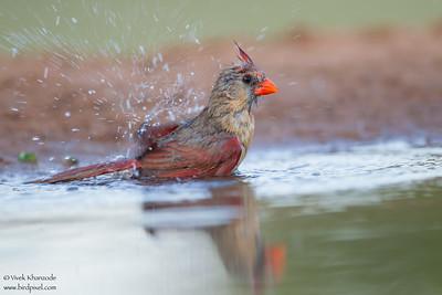 Northern Cardinal - Edinburg, TX, USA