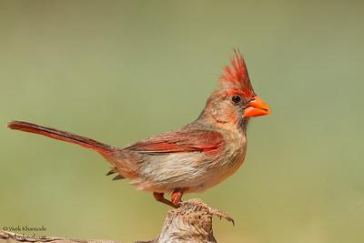 Northern Cardinal - Female -  Edinburg, TX, USA