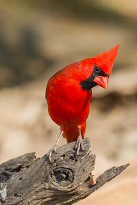 Northern Cardinal - Martin Refuge, Mission, TX, USA