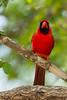 Northern Cardinal - Male -  Edinburg, TX, USA