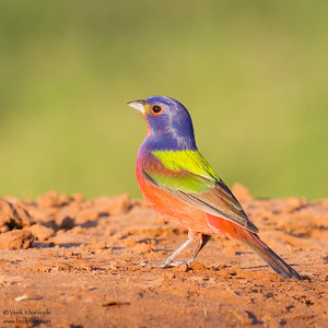 Painted Bunting - Edinburg, TX, USA