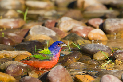 Painted Bunting - Martin Refuge, Mission, TX, USA