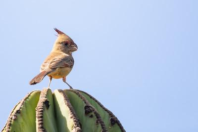 Pyrrhuloxia - Baja California, Mexico
