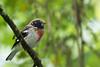 Rose-breasted Grosbeak - Cabanas Los Quetzales, Guadalupe, Panama