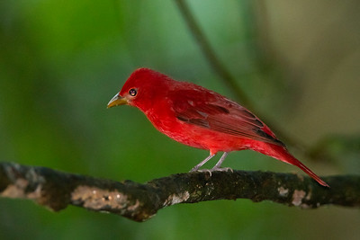 Summer Tanager - Male - Selva Verde, Costa Rica