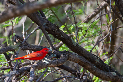 Summer Tanager - Patagonia, AZ, USA