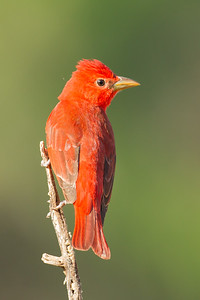 Summer Tanager - Laguna Seca Ranch, Edinburg, TX, USA