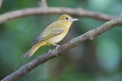 Summer Tanager - Female - Selva Verde, Costa Rica