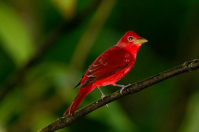 Summer Tanager - Selva Verde, Costa Rica