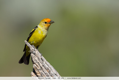 Western Tanager - Male - OR, USA